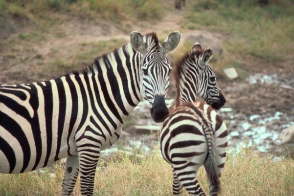 Beautiful African Zebras