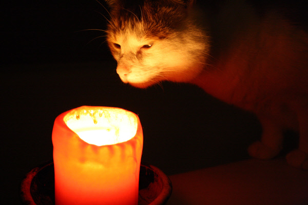 Cat looks at candle